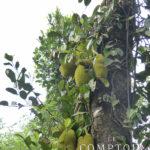 Jack fruit du Kérala