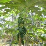 Papaye dans le Kérala