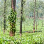 Plantation de poivre du Kérala