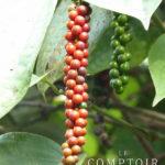 Plantation de poivre dans le Kérala