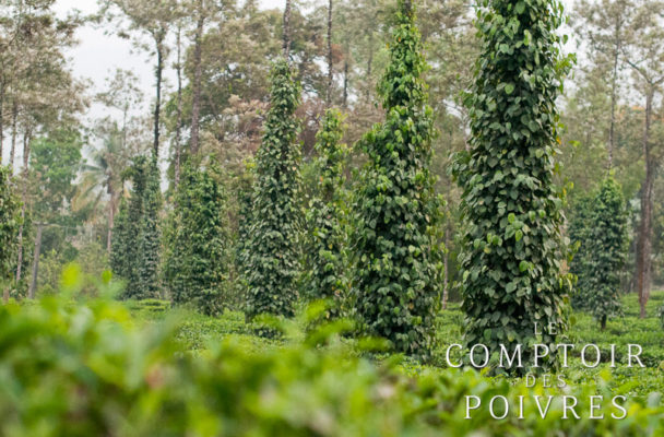 Plantation de poivre en Inde dans le Kérala