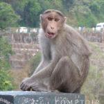 Singe du Kérala en Inde