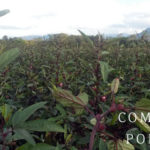 Plantation d'hibiscus