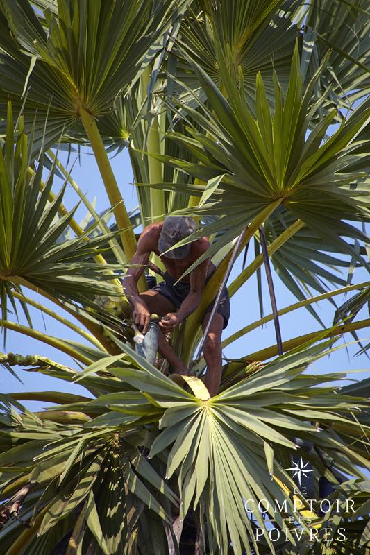 les cueilleurs de sucre de palmier de kampong speu le comptoir des poivres blog. Black Bedroom Furniture Sets. Home Design Ideas