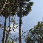 Récolte de la fleur de sucre de palmier au Cambodge