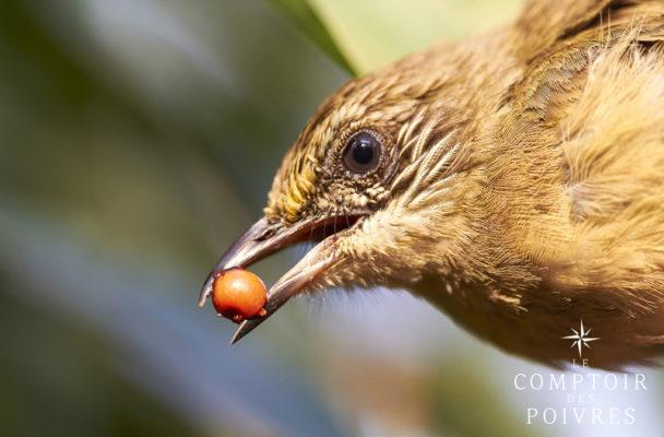Poivre des oiseaux