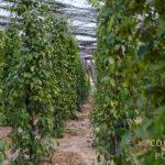 Plantation de poivre au Cambodge