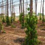 Plantation de poivre à Kampot
